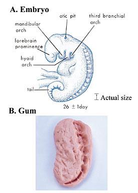 the_quran_on_human_embryonic_development_006